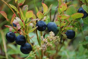 Blueberries may help in controlling body weight