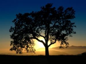 mustard-tree-at-sunsetistock_000000451764small