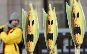 Would you eat genetically modified corn?