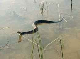 Bt toxin is as deadly as a Water Moccasin.